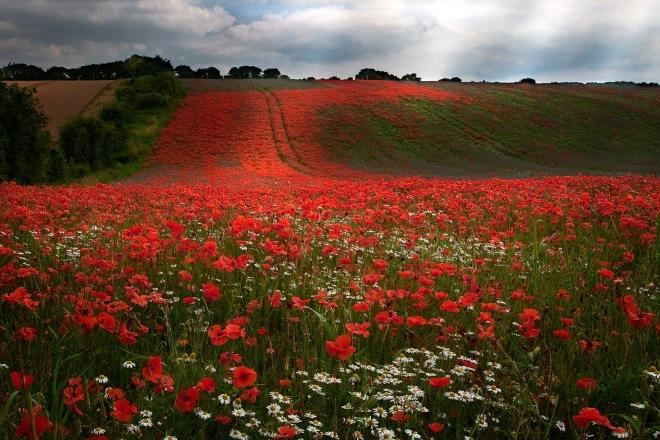 poppies daisies